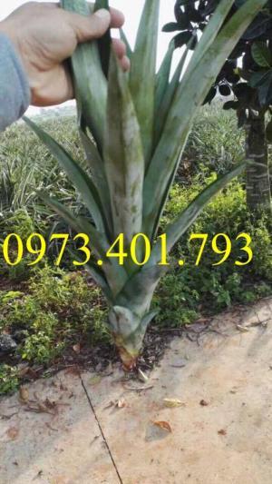 Chuyên cung cấp cây giống dứa khổng lồ giá rẻ