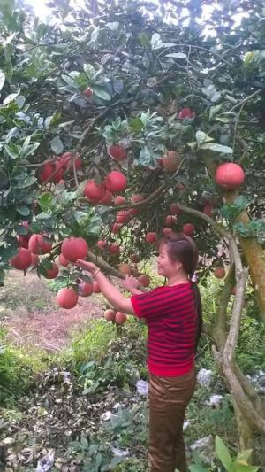 Bưởi đỏ luận văn, cây giống bưởi đỏ luận văn, bưởi tiến vua, chuẩn giống, số lượng lớn, giao cây toàn quốc.