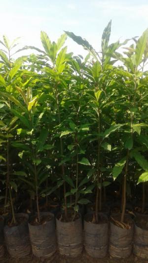 Cây Lộc Vừng- cây giống cao khoảng 50-60cm