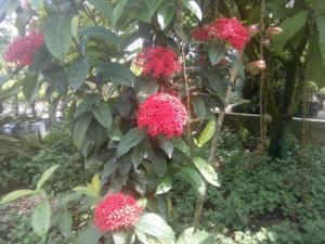 Cây hoa mẫu đơn ta, hoa đỏ, bông lớn, sai bông, tuyệt đẹp