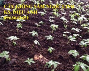Chuyên cây giống, hạt giống: sâm ngọc linh, sa nhân tím, xạ đen, số lượng lớn, hỗ trợ bao tiêu đầu