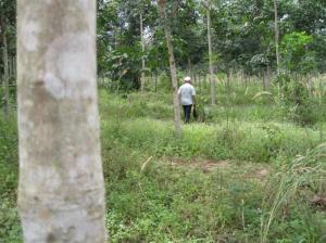 Bán 1.300ha Đất Trồng Cây Lâu Năm Bình Phước