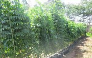 Cây Giáng Hương- Chiều cao từ 2,5m-2,8m