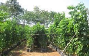 Cây Giáng Hương- Chiều cao khoảng 3m