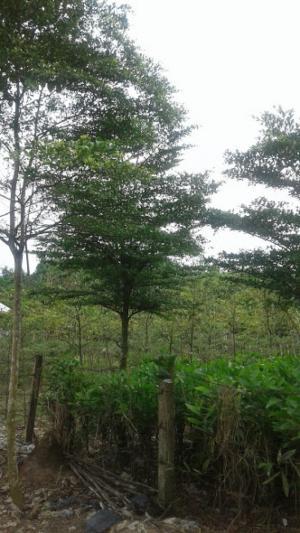Cây Bàng Đài Loan-Chiều cao: 2-2.5m