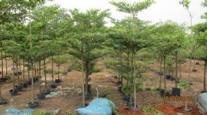 Cây Bàng Đài Loan-Chiều cao: 3-3.5m