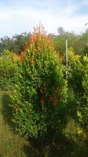 Cây Hồng Lộc,Chiều cao khoảng 1,5m