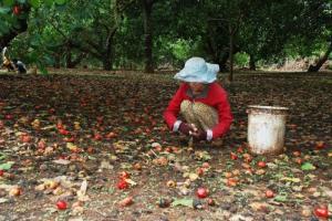 Vườn Điều 7,5 ha xã Bình thắng huyện bù Gia Mập Bình Phước