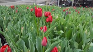 Củ giống hoa tulip trồng tết