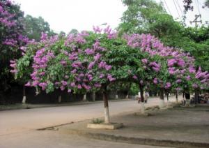 Cung cấp giống cây bằng lăng tím chất lượng
