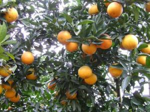 Cây giống cam Vinh, giống cây cam Vinh, cây cam Vinh giống, cam Vinh cây giống.