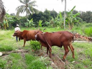 Bán 02 con bò bô(1 đực + cái bầu 8 tháng) tại Long Khánh Đồng Nai
