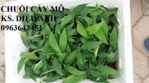 Chuyên cung cấp cây giống chuối nuôi cấy mô: Chuối tây Thái, chuối mốc Thái, chuối sứ, chuối xiêm