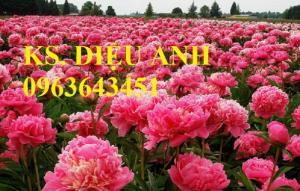 Chuyên cung cấp cây giống hoa mẫu đơn Trung Quốc, cây hoa mẫu đơn đủ màu, số lượng lớn, giao toàn