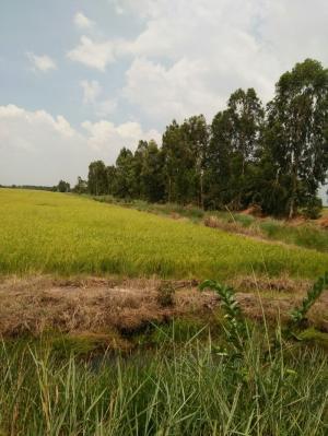 Sang nhượng 570ha đất trồng lúa tỉnh Kiên Giang giá chào 210tr/ha