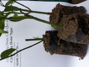 Cây giống hoàn ngọc  cây thuốc quý