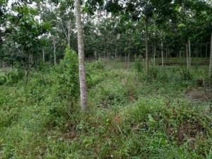 Bán Đất Cao Su - Đồng Tiến- Đồng Phú- Bình Phước