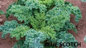 Hạt giống cải xoăn Blue Scotch Kale nhập từ Mỹ