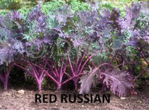 Hạt giống cải xoăn Red Russian kale nhập Mỹ
