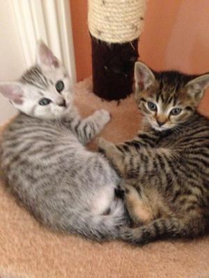Mèo ALN thuần chủng 100% giá hạt dẻ