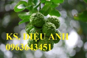 Chuyên cung cấp cây giống chanh nhập khẩu chanh ngón tay, chanh máu, chanh Thái não người