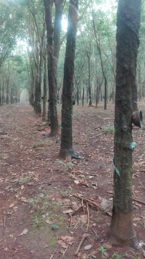 Cần bán Mấy trăm ha cây cao su thanh lý.