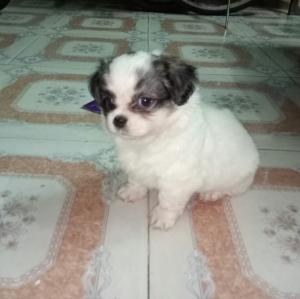 Chó Nhật thuần chủng mini lông xù
