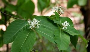 Cao khô mộc hoa trắng (Khắc tinh của bệnh đại tràng & tiêu chảy)
