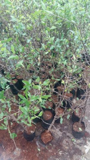 Cây Giống Lựu Lùn, Cây Lựu Lùn Ấn Độ, Giống Cây Lựu Lùn Đỏ Ấn Độ