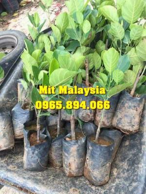 Mít Malaysia, Mít Trái Dài, Mít Cao Sản - Học Viện Nông Nghiệp