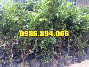 Giống cây Nho Ninh Thuận, Nho Leo Tím, Nho Leo Xanh, Nho Thân Gỗ