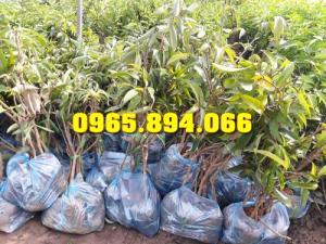 Giống cây Dừa Xiêm, Na dai, Na Thái, Cau Tứ Quý, Cây Chay Giống