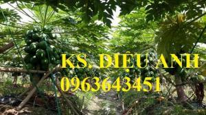 Địa chỉ cung cấp cây giống, hạt giống đu đủ lùn cao sản Thái Lan