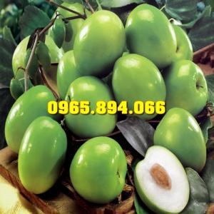 Cung cấp giống Táo Đài Loan, Táo Đại, Táo Thái, Táo Đào Vàng, Táo Chua Gia Lộc, Giống Táo T5