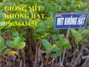 Địa chỉ cung cấp cây giống mít không hạt, mít Thái, mít hạt lép chuẩn, uy tín, chất lượng