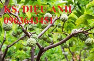 Địa chỉ cung cấp cây giống na dai, na ta, na Lạng Sơn chuẩn, uy tín, chất lượng