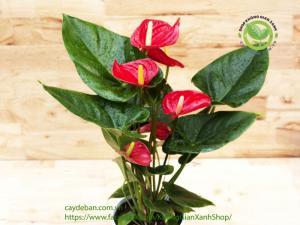 Cây Hồng Mon đỏ (Huyết Môn)
