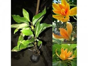Hoa mộc lan cam
