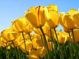 Chuyên cung cấp sỉ lẻ củ hoa Tulip các loại phục vụ Tết