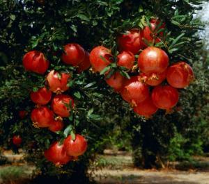 Cung cấp giống cây lựu lùn Ân Độ, lựu lùn đỏ F1, lựu lùn đỏ cao sảnh, cây giống nhập khẩu chất lượng cao