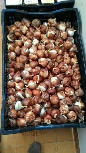 Cung cấp các loại củ giống hoa tu - lip trồng tết 2018