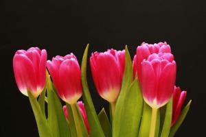 Cung cấp các loại củ giống hoa tuy lip, hoa tulip trồng tết 2018