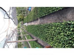 Bán cây Chúc ( Chanh Thái) An Giang
