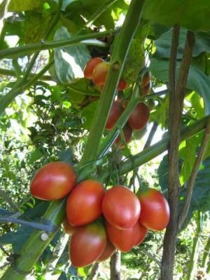 Cung cấp đầy đủ giống cây ăn quả, cà chua thân gỗ chất lượng, giao hàng toàn quốc
