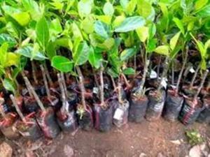 bán cây giống mít các loại