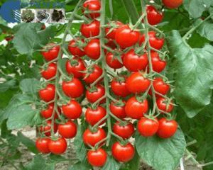 bán hạt cây giống cà chua thân gỗ