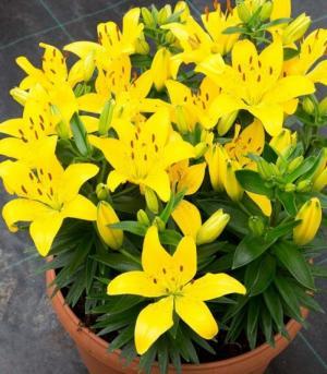 Cung cấp đầy đủ các loại củ giống hoa ly lùn chất lượng số lượng lớn