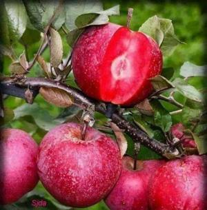 Cung cấp giống cây táo vỏ đỏ ruột đỏ