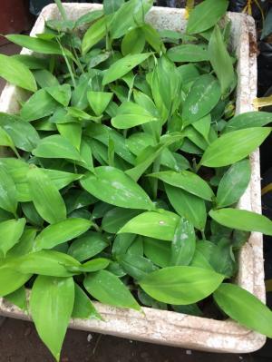Cung cấp các loại giống chuối chất lượng, giống chuối đỏ số lượng lớn