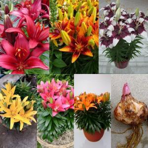 Củ giống hoa Lily